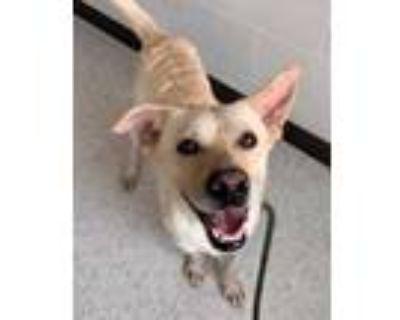 Adopt Neo a Tan/Yellow/Fawn Shepherd (Unknown Type) / Mixed dog in Binghamton