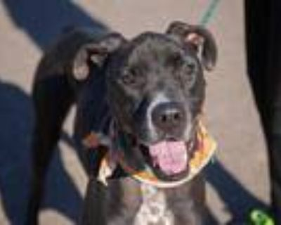 Adopt DIESEL a Black - with White Great Dane / Mixed dog in Phoenix