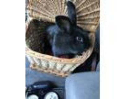 Adopt Labatt a Havana, Bunny Rabbit