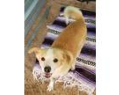 Adopt CHARLIE a White - with Tan, Yellow or Fawn Golden Retriever / Mixed dog in