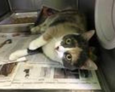 Adopt HONEY BUNNY a Calico or Dilute Calico Domestic Shorthair / Mixed (short