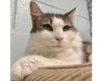 Adopt Bunny (Rabbit) a White Domestic Mediumhair / Mixed cat in Redwood City