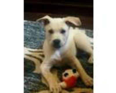 Adopt Phineas a Tan/Yellow/Fawn Shepherd (Unknown Type) / Labrador Retriever /