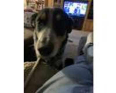 Adopt Milo a Brindle Australian Cattle Dog / Border Collie / Mixed dog in
