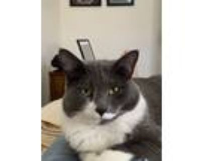 Adopt Newt a Gray or Blue Domestic Mediumhair / Mixed (medium coat) cat in