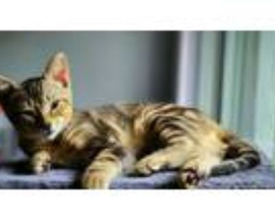 Adopt Cortana a Brown Tabby Domestic Shorthair (short coat) cat in Barrington