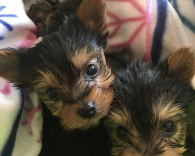 ethical Yorkie puppies ready