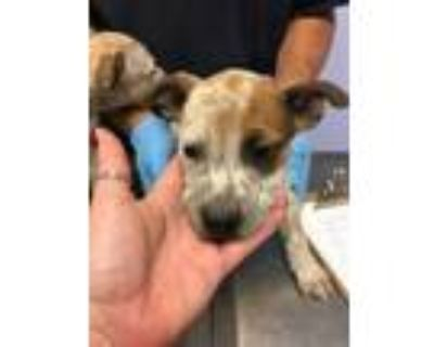 Adopt 48035173 a White American Pit Bull Terrier / Australian Cattle Dog / Mixed