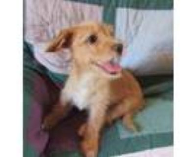 Adopt Cappuccino of the Coffee puppies a Tan/Yellow/Fawn - with White Dachshund