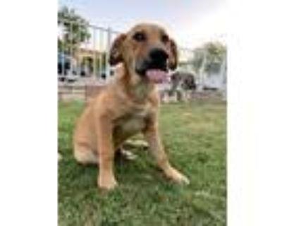 Adopt Bruno a Tan/Yellow/Fawn - with Black Labrador Retriever / German Shepherd