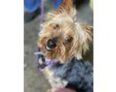 Adopt King a Yorkshire Terrier