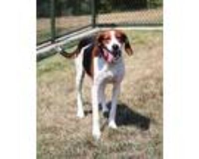 Adopt DARLA a Tricolor (Tan/Brown & Black & White) Foxhound / Mixed dog in