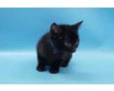 Adopt Kazo a All Black Domestic Shorthair / Domestic Shorthair / Mixed cat in