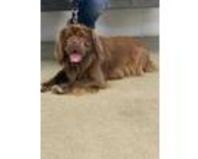 Adopt MOOSE a Brown/Chocolate Cocker Spaniel / Shar Pei / Mixed dog in Fort