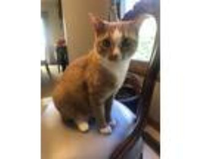 Adopt Belle a Orange or Red Domestic Shorthair / Mixed (short coat) cat in