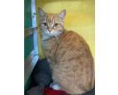 Adopt Amber a Orange or Red Domestic Shorthair / Domestic Shorthair / Mixed cat
