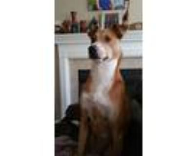 Adopt Maxx a Tan/Yellow/Fawn - with White Basenji / Hound (Unknown Type) dog in