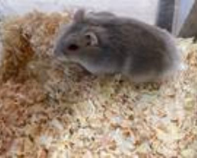 Adopt Belle a Silver or Gray Hamster (short coat) small animal in Apple Valley