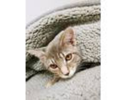 Daisy, Domestic Shorthair For Adoption In Rock Springs, Wyoming