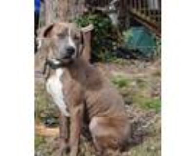 Adopt Banjo a Brindle - with White Plott Hound dog in Norristown, PA (31843925)