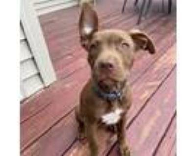 Adopt ***READ BIO*** Gianna a Pit Bull Terrier