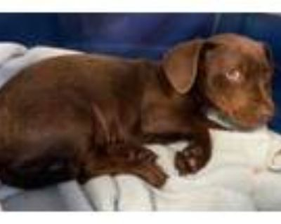 Adopt Furgie a Brown/Chocolate Labrador Retriever / Mixed dog in West Chester
