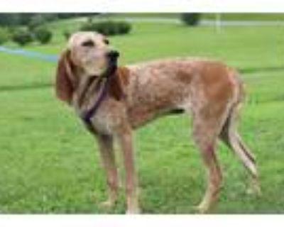 Adopt Wonder a Red/Golden/Orange/Chestnut Redtick Coonhound / Mixed dog in