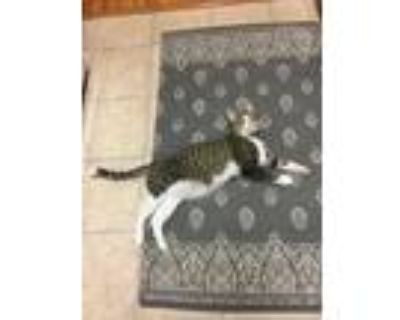 Adopt Joey Flash a Tiger Striped American Shorthair / Mixed (short coat) cat in