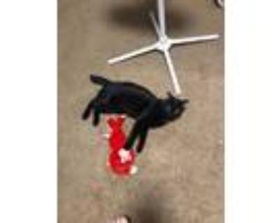Adopt Jack-jack a All Black Domestic Shorthair / Mixed (medium coat) cat in