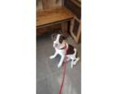 Adopt Stooge a White - with Red, Golden, Orange or Chestnut Pit Bull Terrier /