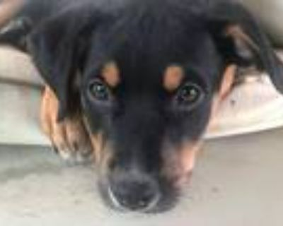 Adopt Ruby Rose - Fostered in SE Nebraska a Beagle, Mixed Breed