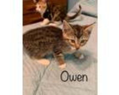 Adopt Owen a Domestic Short Hair