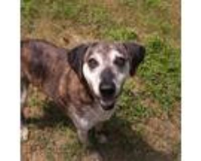 Adopt Montana a Brindle Beagle / Hound (Unknown Type) / Mixed dog in Shreveport