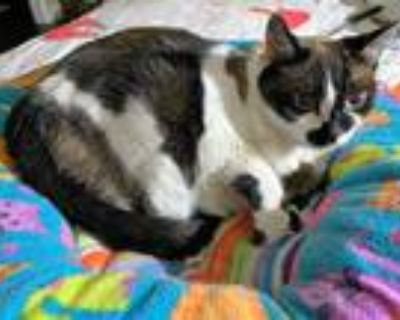 Adopt Stars a Domestic Mediumhair / Mixed cat in Golden, CO (32063411)