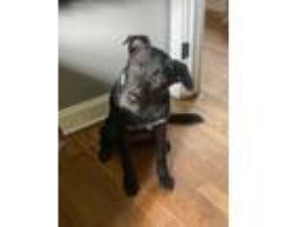 Adopt Elsa a Black - with White Labrador Retriever / Shepherd (Unknown Type) /