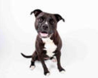 Adopt SUGAR PIE a Brown/Chocolate - with Black Labrador Retriever / American Pit