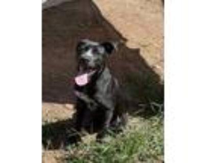 Adopt Beauty a Black Labrador Retriever / Mixed dog in Cumming, GA (31635038)