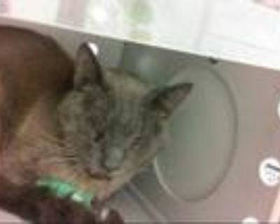 Adopt HENRY a Gray or Blue Siamese / Mixed (short coat) cat in Albuquerque