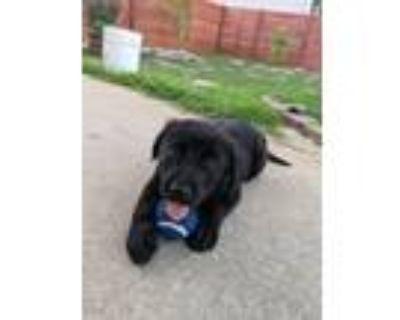 Adopt Luke a Black - with White Labrador Retriever / Golden Retriever / Mixed