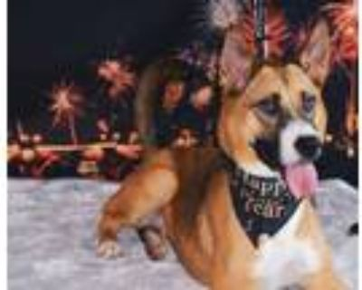 Adopt Lucy a Basenji, Black Mouth Cur