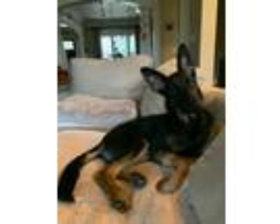 Adopt Rogue a German Shepherd Dog