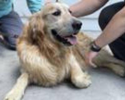 Adopt Deniz a Red/Golden/Orange/Chestnut Golden Retriever / Mixed dog in Los