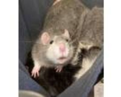 Adopt Jack a Rat small animal in Golden, CO (31927925)