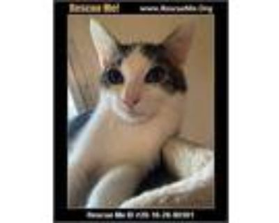 Adopt Oakley a White (Mostly) Domestic Shorthair (short coat) cat in White