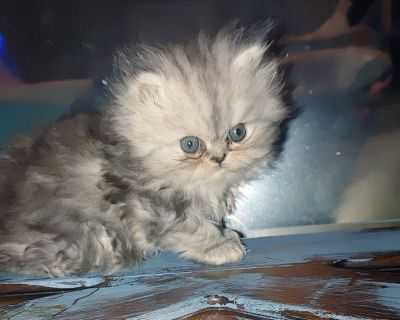 Himalayan and persian kittens