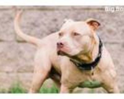 Adopt Big Boy a Tan/Yellow/Fawn American Pit Bull Terrier / Mixed dog in Fort