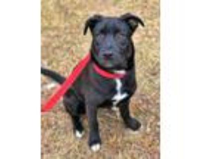 Adopt Kiera Robinson a Black Labrador Retriever / Mixed Breed (Medium) / Mixed