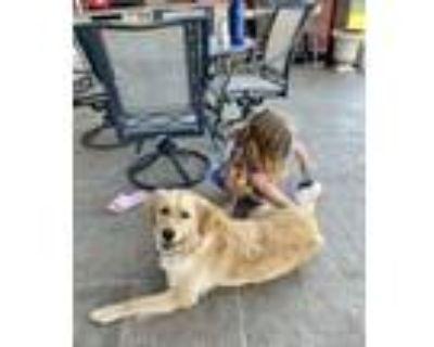 Adopt Dog a Red/Golden/Orange/Chestnut Golden Retriever / Border Collie / Mixed