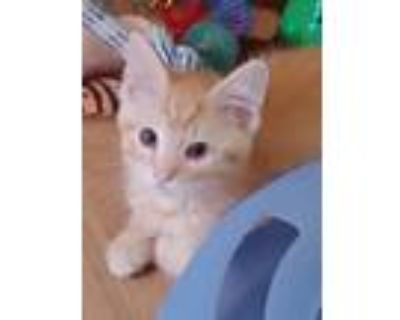 Adopt LOKI'S KITTENS a Cream or Ivory (Mostly) Siamese (short coat) cat in