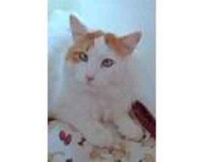 Adopt Dusty a Domestic Mediumhair / Mixed cat in Albuquerque, NM (30940046)